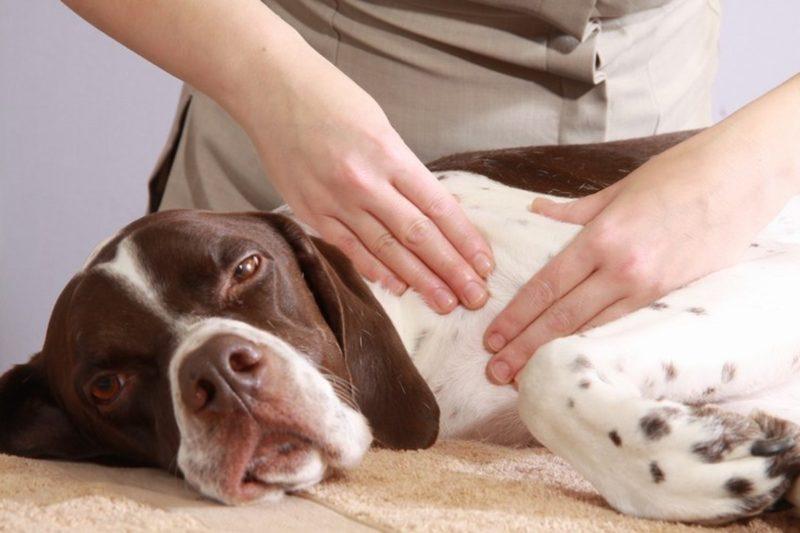 Профессиональный массаж для животных. В каких случаях он необходим